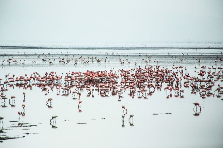 Lake Manyara with greater flamingos