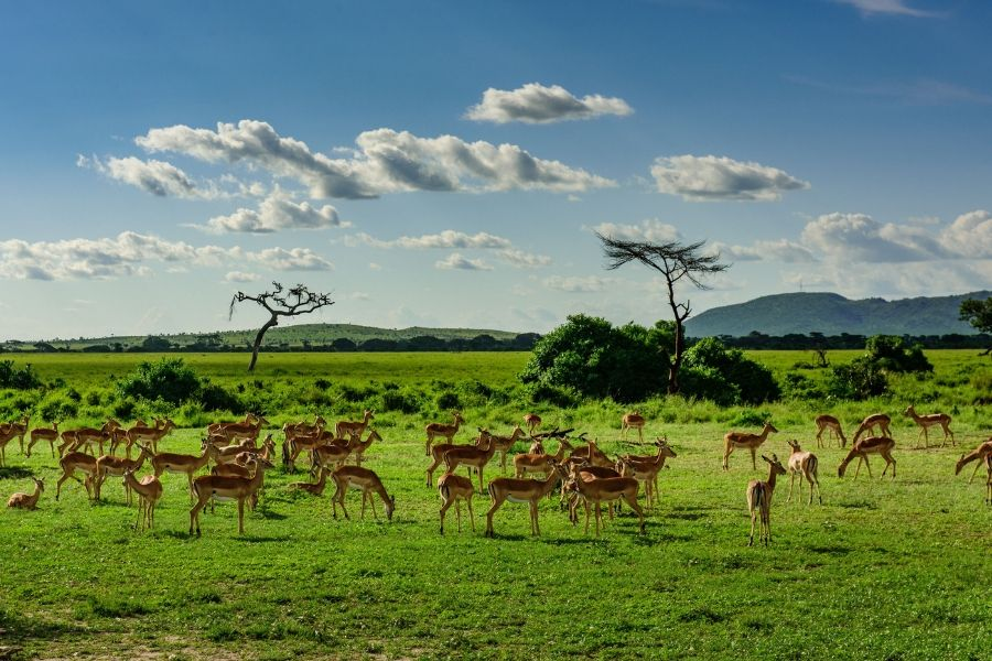 Maswa Game reserve and antelopes on a green field