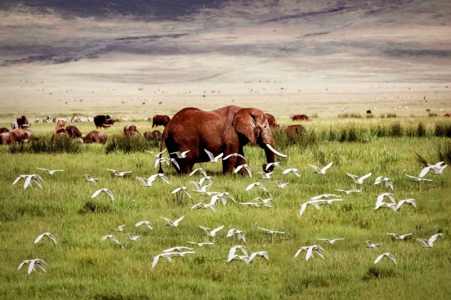 An elephant and birds flying in the Ngorongoro