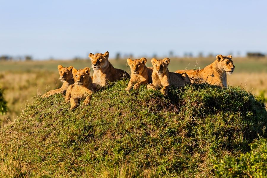 A group of lionness in the Masai Mara