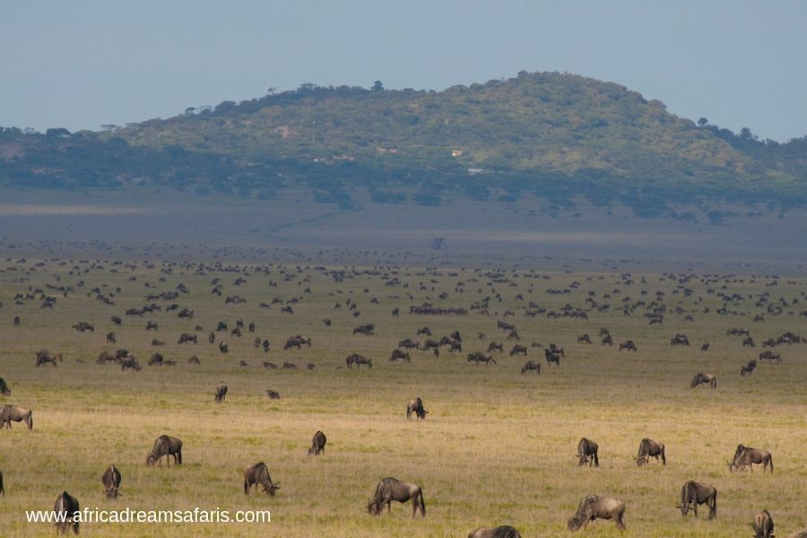 Wildebeests grazing the fields of Naabi Hill