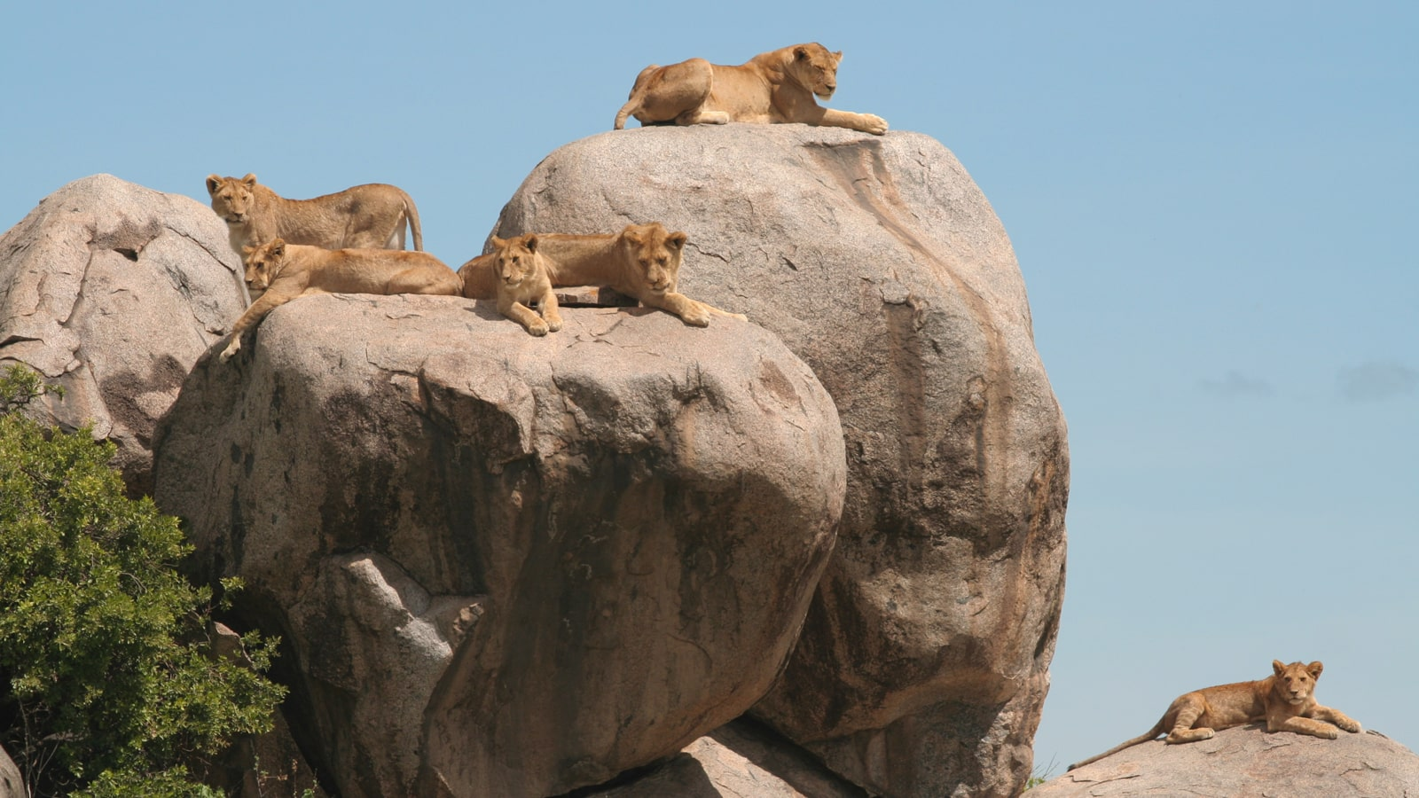A pack of lionness resting on a rock in Moru Kopjes