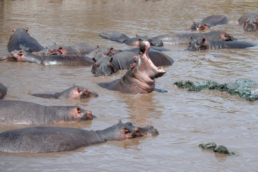 Hippos in the water in Serengeti