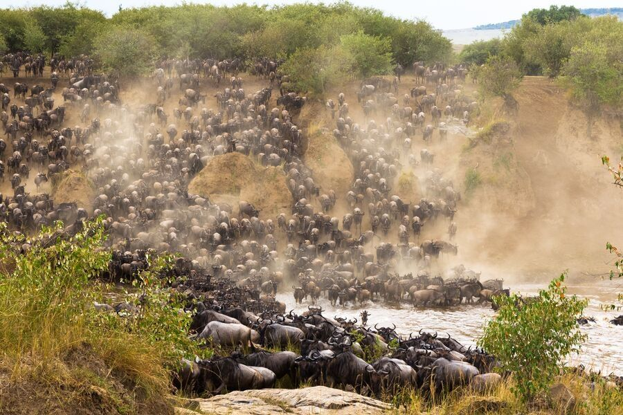 Wildebeests migration crossing a river in the serengeti