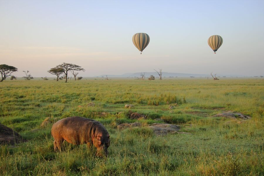 Hippo grazing a field with hot air balloon in the background