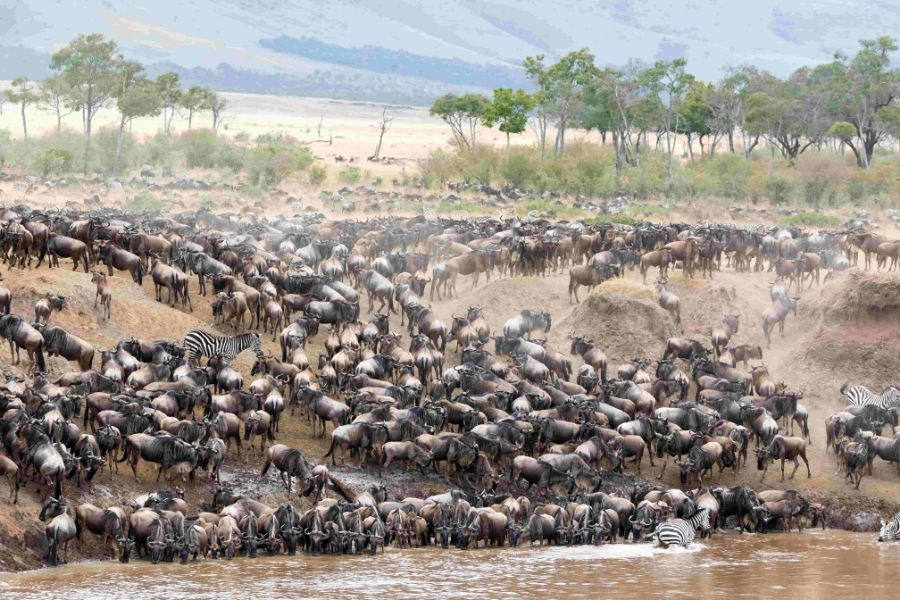 Herd of wildebeest crossing the mara River for the Great Migration
