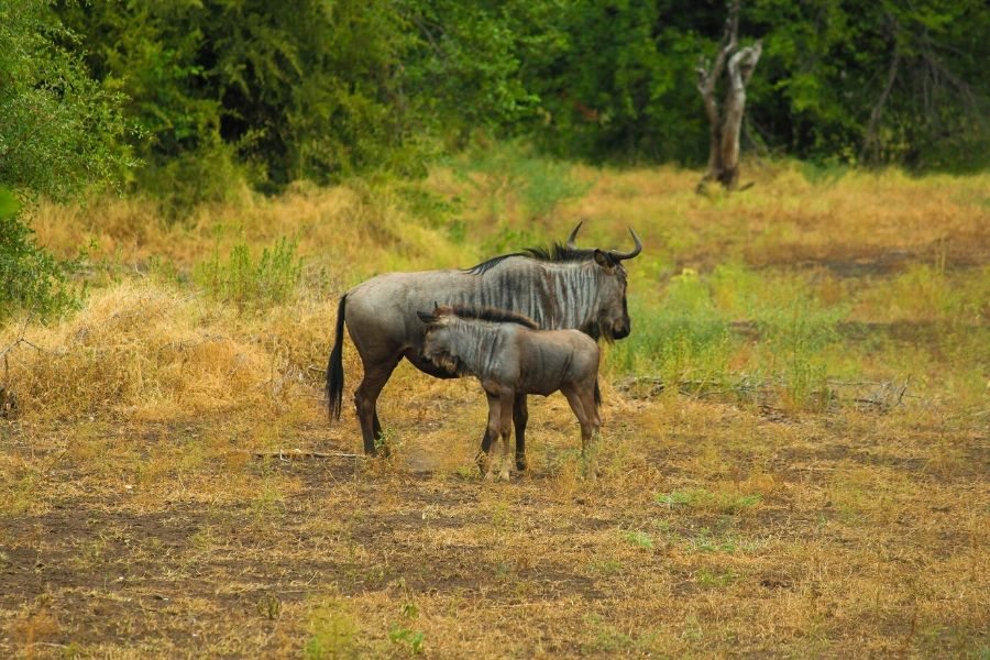 Mother and calf wildebeest in Serengeti