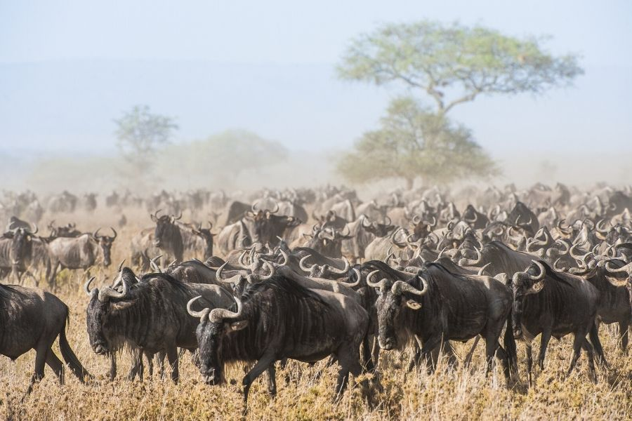 A pack of wildebeests in the Serengeti