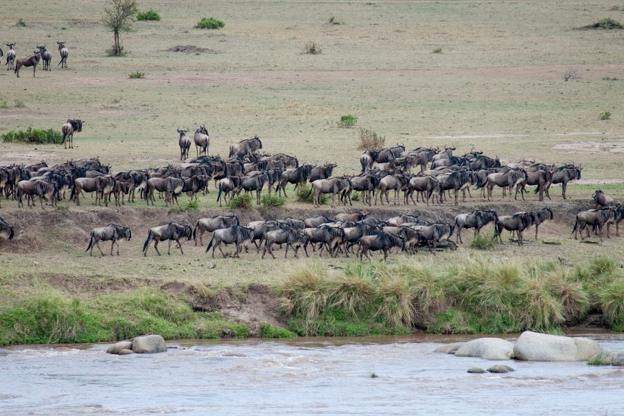 Great Wildebeest Migration. Great Migration Accommodation Permanent Versus Mobile Tented Camps. Serengeti Acacia Camps
