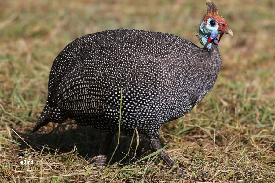 Guinea Fowl in Serengeti. The Serengeti is a True Birder's Paradise: Bird Checklist to Look Out For. Serengeti Acacia Camps