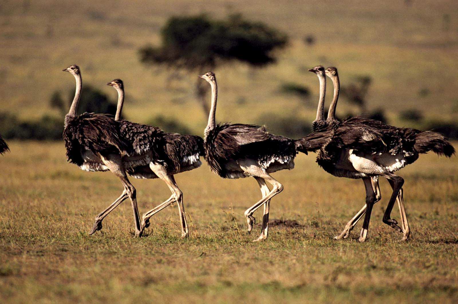 Ostriches birds found in serengeti national park . The Serengeti is a True Birder's Paradise: Bird Checklist to Look Out For. Serengeti Acacia Camps