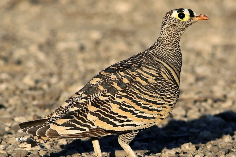Sandgrouse birds found in serengeti national park. The Serengeti is a True Birder's Paradise: Bird Checklist to Look Out For. Serengeti Acacia Camps