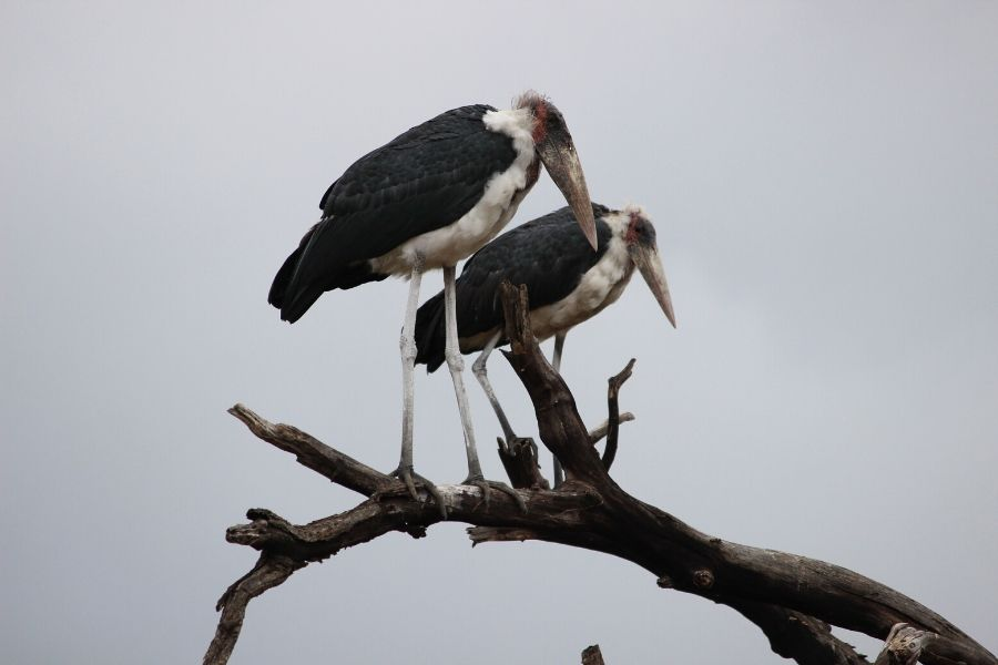 storks birds found in serengeti national park. The Serengeti is a True Birder's Paradise: Bird Checklist to Look Out For. Serengeti Acacia Camps