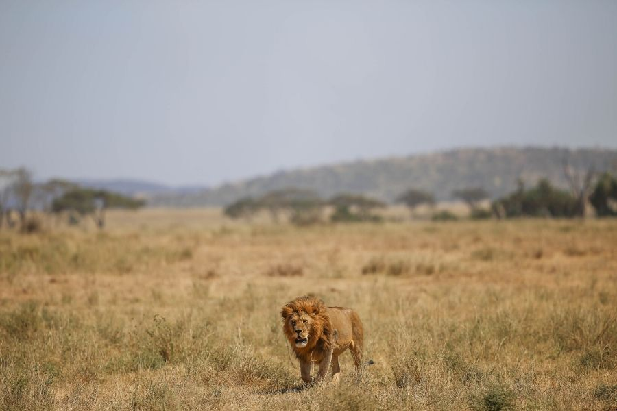 A lion during midday in the Serengeti